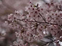 The bloom of cherry blossoms at ICU (International Christian University) (nakashi) Tags: japan tokyo bloom cherryblossom sakura mitaka icu internationalchristianuniversity