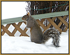 Grey Squirrels Love Bird Seeds (bigbrowneyez) Tags: wood winter snow cold primavera nature beautiful animal fence spring furry squirrel pretty tail fluffy natura trellis deck frame friendly balance mygarden attention visitor inverno alert ardilla cornice sepa onguard greysquirrellovesbirdseeds