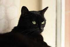Ling Ling (notgreatbob) Tags: pet cat windowsill