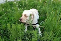 Gracie taking a break (walneylad) Tags: dog pet cute puppy spring gracie lab labrador canine april labradorretriever