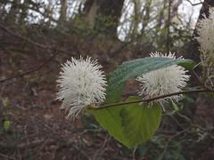 Fothergilla major (witch alder) (kevinandrewmassey) Tags: flowers plant major flora witch n wildflower linvillegorge alder fothergilla