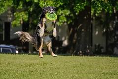 Leap of Pooch (brev99) Tags: park dog grass jump catch frisbee leap tulsagardencenter d7100 nikviveza topazdenoise cacorrection tamron70300vc dxooptics8