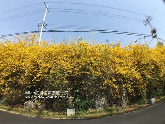 안산공원벚꽃34