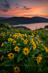 Morning Bouquet (pdxsafariguy) Tags: usa flower nature clouds oregon sunrise river spring meadow growth bloom gorge wildflower freshness balsamroot tomschwabel rowenacrest tommccallpreserve