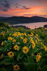 Morning Bouquet (pdxsafariguy) Tags: usa flower nature clouds oregon sunrise river spring meadow growth bloom gorge wildflower freshness balsamroot tomschwabel rowenacrest tommccallpreserve