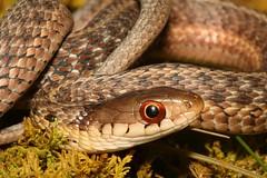 Garter Snake (Thamnophis sirtalis) (Steve Byland) Tags: macro garter canon snake 7d markii thamnophis sirtalis