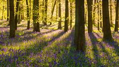 Bluebells 2015: Redux (elliot.hook) Tags: uk blue bluebells sunrise woodland landscape carpet outdoors spring shadows estate purple time british beech hertfordshire ashridge
