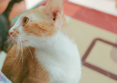 Cat (Reno n) Tags: white cute eye yellow cat cateye