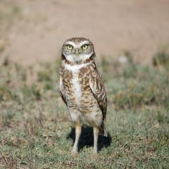 Western Burrowing Owl (Laveen Photography (aka cyclist451)) Tags: new arizona test phoenix birds us photographer unitedstates az photograph tamron burrowingowl trailsidepoint laveenphotography cyclist451yahoocom 150600mmlens