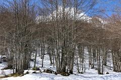 forêt de bouleaux (escaledith) Tags: france montagne 64 neige betula gourette bouleaux pyrénéesatlantiques stationdeski