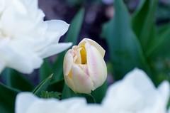 Creme Upstar double tulip surrounded by Mondial double tulips (Niki Gunn) Tags: flower macro pentax tulip april tamron 90mm k5 tamron90mm doubletulip 2016 tamron90mmf28 tamron90mmmacro tamronspaf90mmf28