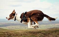 15/52 Flying Flynn (meg price) Tags: dog nature action free running hills bordercollie flynn 52weeksfordogs