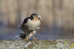 Close up Sparrowhawk (Robin M Morrison) Tags: somerset hide avalon sparrowhawk rspb somersetlevels rspbhamwall