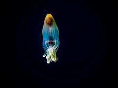 P3255737 (Jeannot Kuenzel) Tags: leica blue sea macro water port photography islands la mediterranean underwater alien under deep scuba diving canarias olympus malta el zen canary supermacro moods asph islas f28 45mm underwaterworld s2000 dg gomera 240z hierro underwaterphotography extrememacro ois jeannot inon macroelmarit underwatercreature kuenzel z240 maltaunderwater underwatermacro underwateralien supermacrophotography ucl165 wwwjk4unet jk4u epl5 maltaunderwatermacro maltaunderwaterphotography bestmaltaunderwaterpictures maltamacro maltascubadiving underwatersupermacro jeannotkuenzel aliensofthedeepblue superextrememacro aliensofthesea
