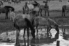 Wild Horses in black-and-white - Bathing - 2016-023_Web (berni.radke) Tags: horse pony bathing herd nordrheinwestfalen colt wildhorses foal fohlen croy herde dlmen feralhorses wildpferdebahn merfelderbruch merfeld przewalskipferd wildpferde dlmenerwildpferd equusferus dlmenerpferd dlmenpony herzogvoncroy wildhorsetrack