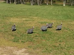 Guinea Fowl (Morton Fox) Tags: birds nj guineafowl etralakepark twinrivers