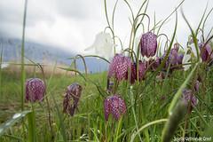 Kievitsbloem-9532 (Josette Veltman) Tags: macro photowalk lente zwolle overijssel landschap zeldzaam kievitsbloem kievitsbloemen photowalkzwolle checkersflower