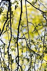 Berk in het voorjaar. 000. Birch tree in spring time. (George Ino) Tags: copyright holland netherlands leaves branch nederland blad birch lente twigs tak birchtree 1960 bladeren ruweberk ruweberkbetulapendula rakken georgeino georgeinohotmailcom naturenatuurnatur voorjaarspringfrhjahrprintempsprimavera