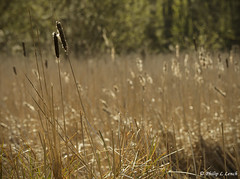 Last years rushes (Philip Lench) Tags: woodland spring worcestershire kidderminster hurcott