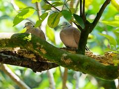 20160413-EM1X7625 (shutterblades) Tags: birds jurongbirdpark jbp eareddove olympusem1 olympusmzuiko40150mmf28pro14tc