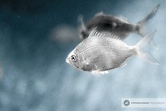 USA (Steph le Gnou) Tags: california usa aquarium monterey marine californie faune tdm etatsunis tourdumonde unmondedegnous