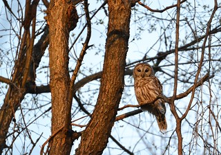 Barred Owl in the Sunset