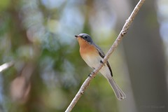 Leaden Flycatcher (Myiagra rubecula) Female (Keefy2014) Tags: female flycatcher leaden rubecula myiagra