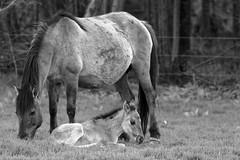 Wild Horses in black-and-white - Foal - 2016-021_Web (berni.radke) Tags: horse pony herd nordrheinwestfalen colt wildhorses foal fohlen croy herde dlmen feralhorses wildpferdebahn merfelderbruch merfeld przewalskipferd wildpferde dlmenerwildpferd equusferus dlmenerpferd dlmenpony herzogvoncroy wildhorsetrack