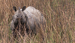 You can't see me (rob of rochdale) Tags: india nature grass wildlife rhino assam kaziranga
