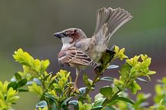 Bird (sylvettet) Tags: bird nature sparrow 2016 nikond5100