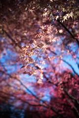 new red leaves (sebboh) Tags: tree spring bokeh japanesemaple crystalsprings sonya7 leicamleitzcanadasummilux35mmf14