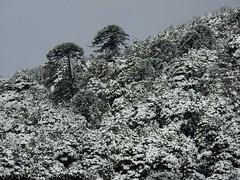 Challupn (Mono Andes) Tags: chile bosque andes araucaria araucariaaraucana parquenacional araucariaceae chilecentral regindelaaraucana parquenacionalvillarrica regindelosros