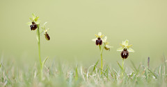 Early Spider Orchid Ophrys sphegodes (Iain Leach) Tags: plant orchid macro nature beautiful beauty closeup canon photography flora image wildlife photograph dorset purbeck ophrys macrophotography birdphotography beautyinnature wildlifephotography ophryssphegodes canoncameras canon5dmk3 earlyspiderorchidophryssphegodes canon1dx wwwiainleachphotographycom iainhleach