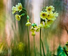 Schlsselblume (Sascha Wolf) Tags: flower macro nikon natur d750 blume tamron 90mm schnbuch schlsselblume