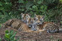 Three of a KInd (Penny Hyde) Tags: cub tiger bigcat sumatrantiger safaripark babyanimal