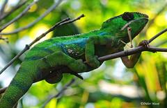Camlon de Parson en train de finir son repas  (Explore 30/04/16) (didier95) Tags: paris reptile vert animaux cameleon lezard pzp parczoologiquedeparis cameleondeparson