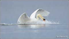 Aggressive attitude (Earl Reinink) Tags: swan nikon earl d5 muteswan naturephotography nikond5 earlreinink reinink itodauhdra
