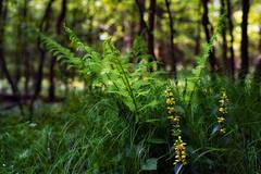 Farn in gelber Begleitung (MH *) Tags: wood plant fern green yellow forest pentax pflanze gelb grn wald farn emmendingen teningen denzlingen allmend 70mmlimited