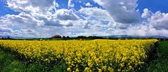 Champ de colza (Diegojack) Tags: panorama jaune nikon champs campagne printemps vaud colza vaudoise echandens nikonpassion d7200