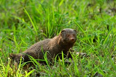 Indian Mongoose (Jesu Dominic) Tags: animals forest wildlife jungle mongoose