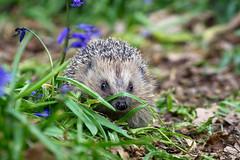 Hedgehog (hehaden) Tags: wood leaves bluebells surrey hedgehog bwc lingfield erinaceuseuropaeus britishwildlifecentre
