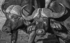 Old Dagga Boys (philnewton928) Tags: africa wild blackandwhite bw nature monochrome animal southafrica mammal outdoors buffalo nikon outdoor wildlife horns safari animalplanet krugernationalpark capebuffalo kruger pundamaria synceruscaffercaffer d7200 capebuffalobull daggaboys nikond7200