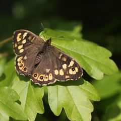 speckled wood (bugman11) Tags: macro animal animals fauna canon butterfly bug insect nederland thenetherlands butterflies insects bugs 1001nights speckledwood parargeaegeria bontzandoogje thegalaxy platinumheartaward 100mm28lmacro 1001nightsmagiccity