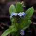forget-me-not in flower