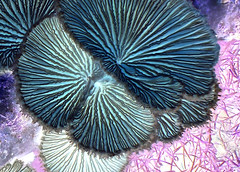 Inverted Abstract of a Split Gill Fungi (bugldy99) Tags: macro mushroom outdoors bright pastel fungi growth negative fungus inverted gill