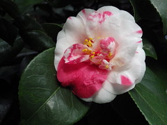 Camellias - YSP (puffin11uk) Tags: ysp 50club puffin11uk 50club2