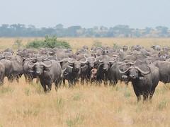 DSCN7511a copy (David Bygott) Tags: africa buffalo uganda herd queenelizabethnationalpark qenp
