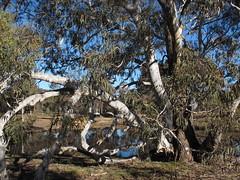 Old euc around Mulligan's Flat dam (spelio) Tags: park nature gum bush ride flat walk reserve fallen eucalypt canberra bent bikeride drooping act mulligans dropping drooped