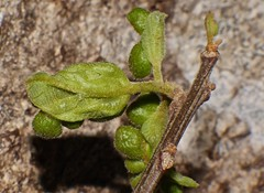 Leaf gall attack on Mallotus rainforest tree Airlie Beach P1300833 (Steve & Alison1) Tags: tree beach leaf rainforest attack gall airlie mallotus