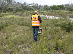 Detection dog - Connor (Environment + Heritage NSW) Tags: dogs weed hawkweed weedcontrol weedmanagement huntinghawkweed weedvolunteerskosciuszkonationalpark weedprogram weeddetectiondog